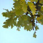 Flaumeichen im Biotop Castelfeder