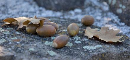 Eicheln auf Castelfeder im Südtiroler Unterland
