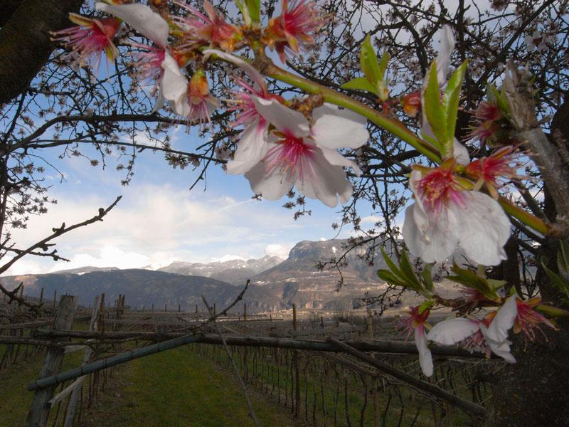 Mandelblüte in Söll bei Tramin