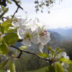 Hoch über Andrian blühen noch die Kirschbäume.