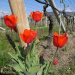 Durch Weinberge im Weinbaugebiet Kaltern