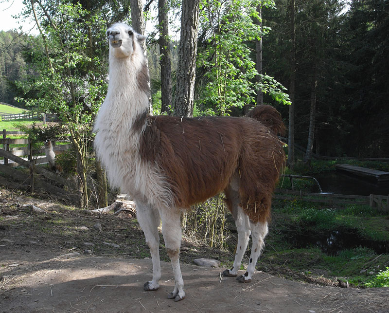 Lama bei Oberinn