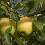 Gala   Apfelgenuss aud Südtirol