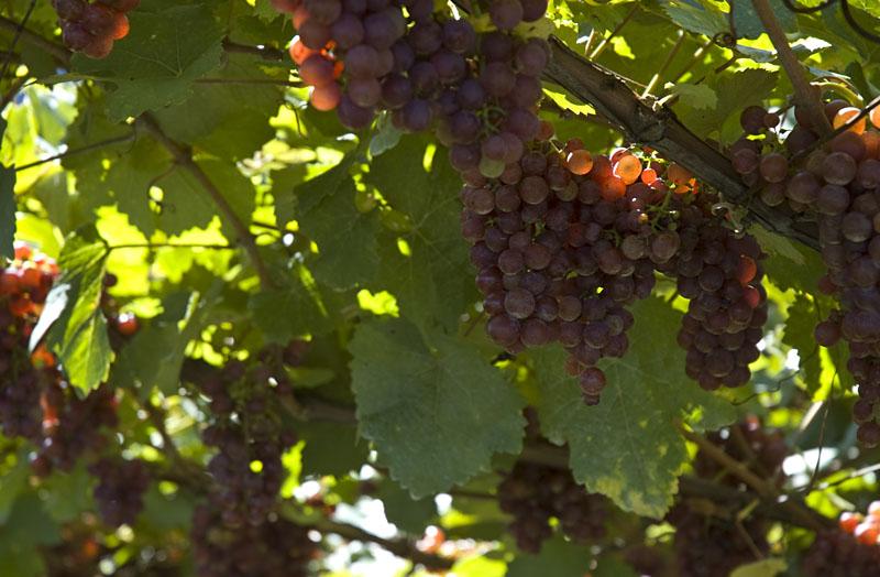 Kurz vor der Traubenlese in den Weinbaugebieten Eppan und Kaltern