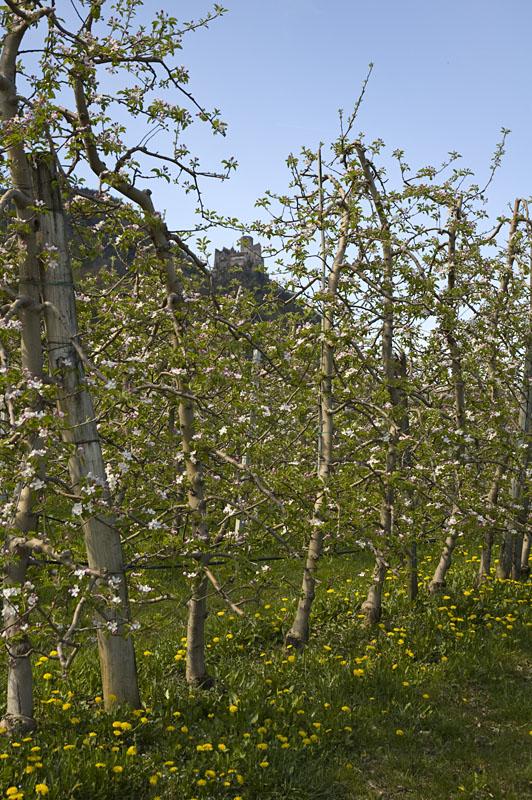 Apfelplantagen im Überetsch