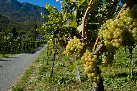 Trauben im Herbst in Eppan / Südtirol