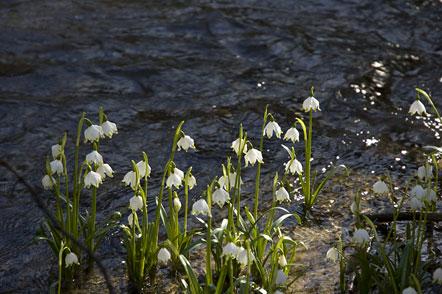 Schneeglöckchen im Frühlingstal zwischen dem Kalterer See und dem Montiggler See