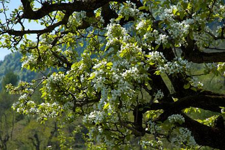 Ab und zu trifft man auch auf einen Birnbaum inmitten der Apfelfelder