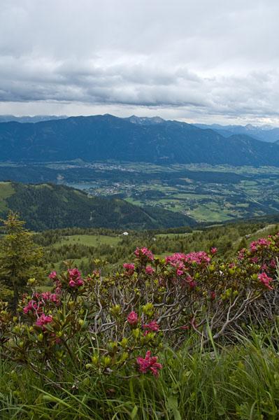 Almrosenblüte in Kärnten