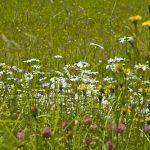 Almwiese im Salzkammergut