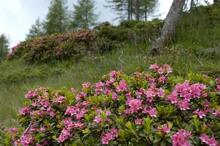 Alpenrosen auf den Weg zum Tschiernock