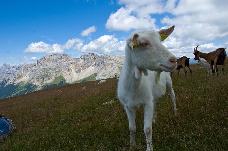 Ziege auf dem Zanggen Plateau
