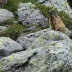 Murmeltiere im Trentino