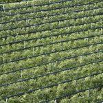 Weinbau im Südtiroler Unterland