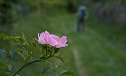 Rose am Wegesrand unterhalb von St. Justina