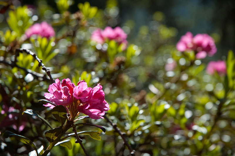 Almrosen im Naturpark Puez Geisler