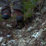 Blühendes Edelweiss
