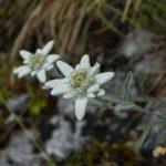 Edelweiss in den Brenta Dolomiten