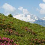 Almrosen und Blick auf die Marmolada