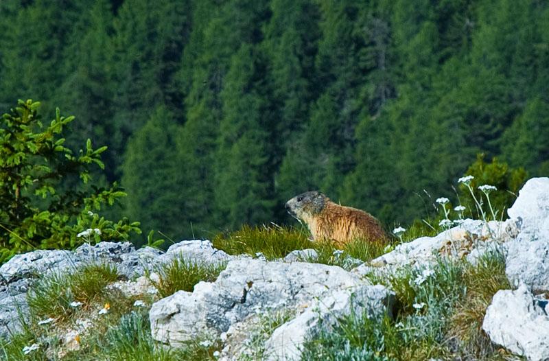 Murmeltier bei der Wanderung Col di Lana