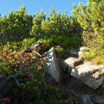 Almrosen beim Wandern in Südtirols Süden