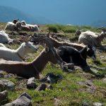 Ziegen bei der Wanderung zum Schwarzhorn