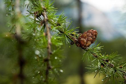 Regentropfen hängen noch an den Lärchenzweigen - Uina Tal