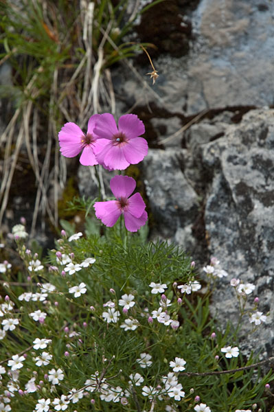 Flora der Brenta Dolomiten