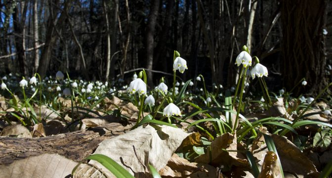 Die Märzenbecher (wir Südtiroler nennen sie fälschlicherweise Schneeglöckchen) im Frühlingstal