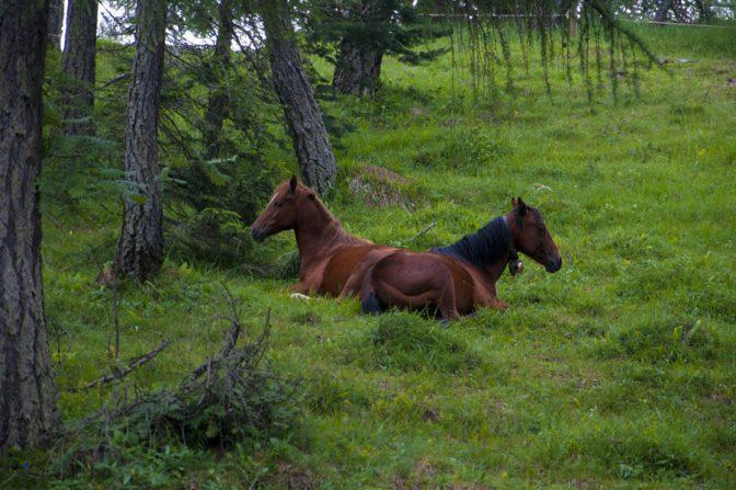 Pferde auf den Lärchenwiesen am Penegal