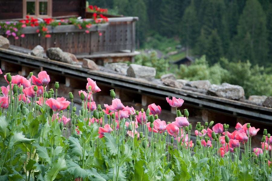 Mohnfelder am Höfeweg im Ultental