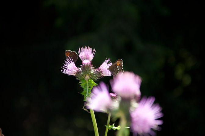 Schmetterlinge auf einer Distel - Bei der Wanderung zur Laugenalm ein häufiger Anblick