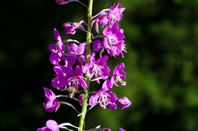 Blume Sexten