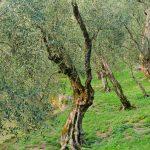 Im Olivenhain am Gardasee 02