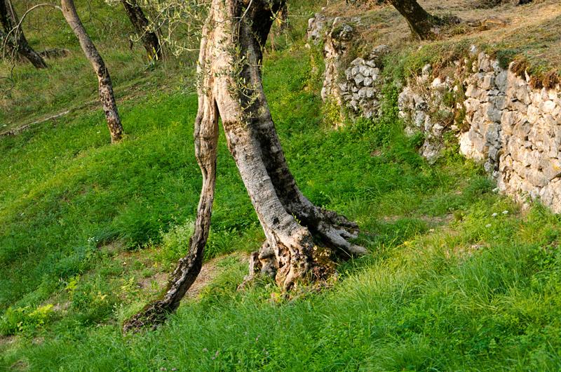 Im Olivenhain am Gardasee 03