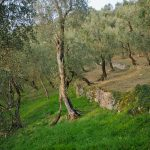 Im Olivenhain am Gardasee 04