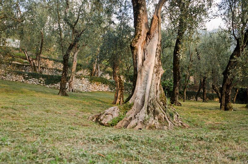 Im Olivenhain am Gardasee 07