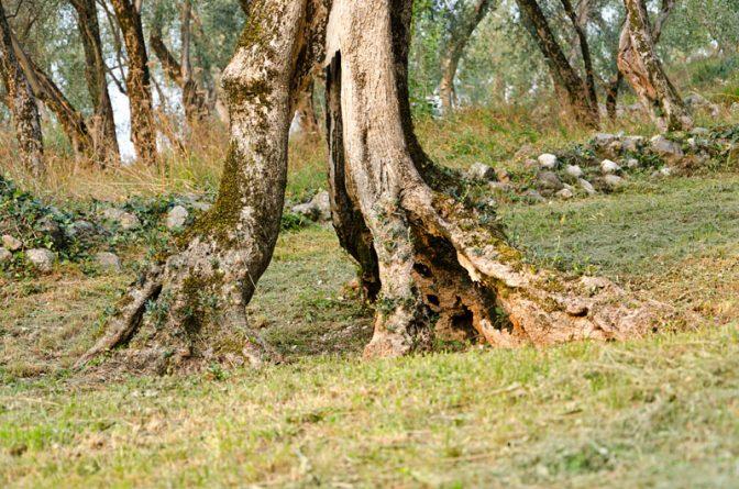 Olivenhain über Malcesine / Gardasee