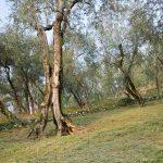 Im Olivenhain am Gardasee 09