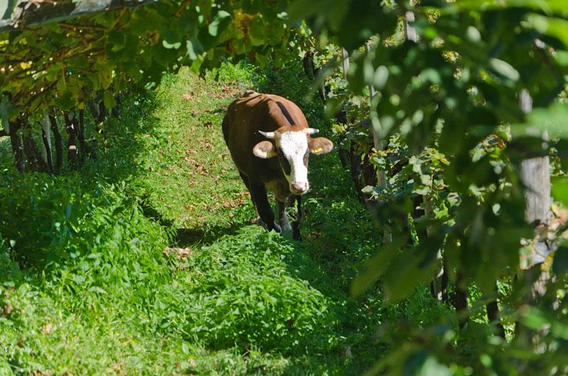 In Montigl einer Fraktion von Terlan grasen die Kühe im Weinberg.