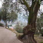 Wandern im Olivenhain