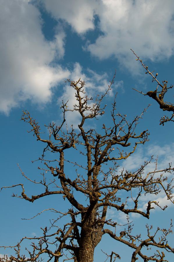 20120325 Apfelbaum vor Romeno 002