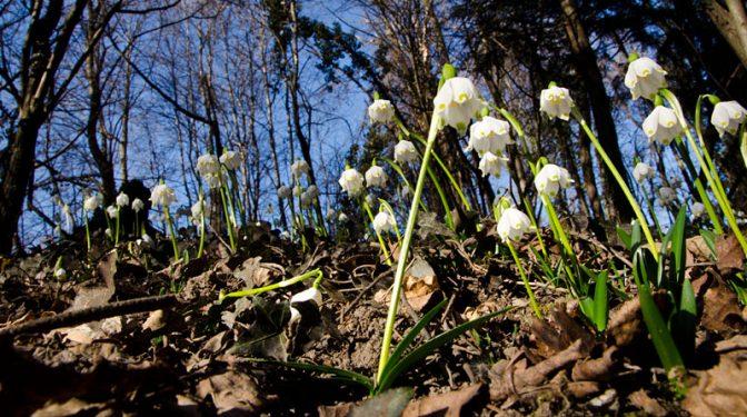 Die ersten Frühlingsboten im Frühlingstal zwischen Kalterer See und Montiggler See: Große Schneegloeckchen auch Märzenbecher genannt.