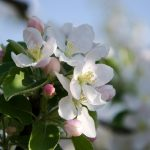 Apfelbluete Kalterersee 01