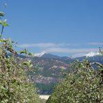 Apfelbluete Weisshorn 01