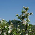 Leuchtenburg Apfelbluete 01