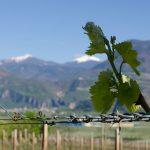 Weinlaub vor Weisshorn 01