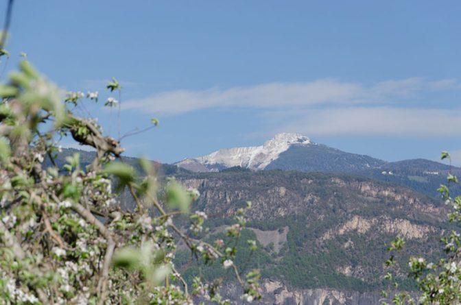Mitten durch die blühenden Apfelbäume sehen wir hinauf zum Weißhorn.