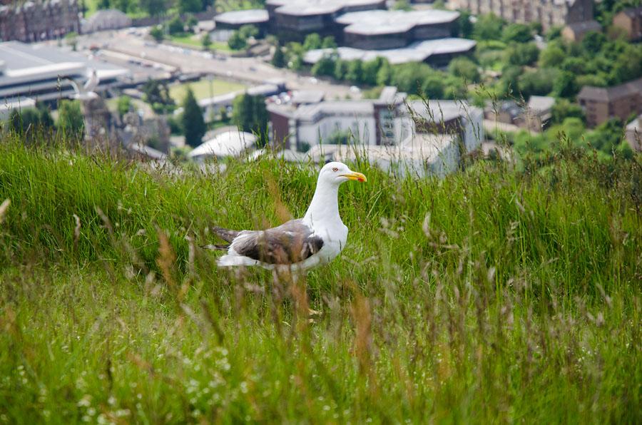 Möwe in Edinburgh Schottland