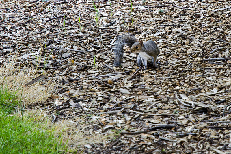 Eichhörnchen in Schottland